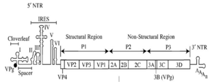 Poliovirus genome