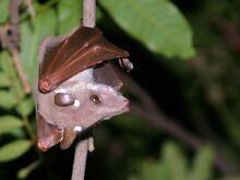 Epauletted Fruit Bat (Epomophorus wahlbergi or crypturus) (6042096470)