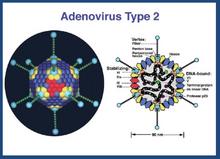 Adenovirus sito