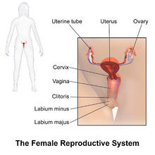 Blausen 0399 FemaleReproSystem 01
