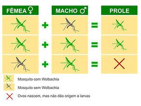 Wolbachia fiocruz