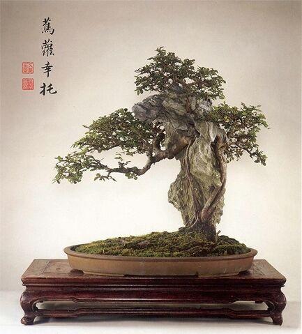 File:Chinese Elm.jpeg