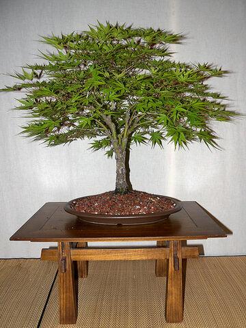 File:Japanese Maple (Acer palmatum) 'Arakawa'.jpg