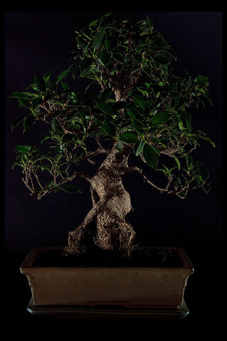 File:Bonsai on Black.jpg