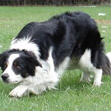 Farm Border Collies | Border-collie Wikia | Fandom