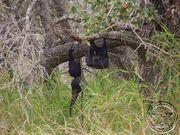Rape-tree
