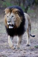 Ec12c46e944244f9fa14dfeaf0415e56--lion-mane-beautiful-cats