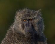 Baboon-0