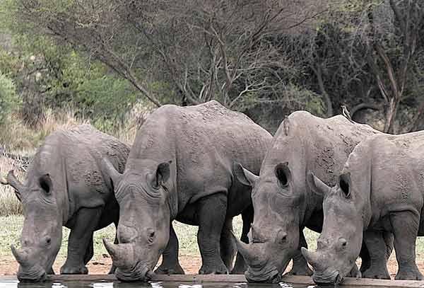 Rhinoceroses Bravelands Wiki Fandom