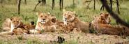 Lions-0