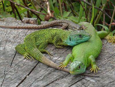 European green lizards