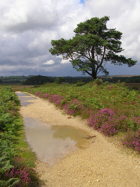 Puddly heathland path