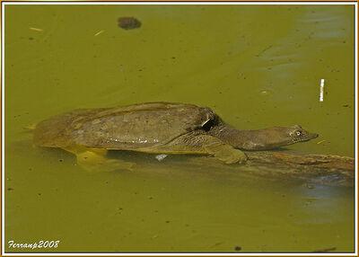 PN Garraf 148 - Palau Novella - tortuga - turtle - Pelodiscus sinensis