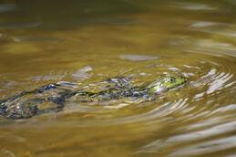 Edible frog swimming