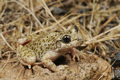 Betic midwife toad
