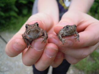2 common toads