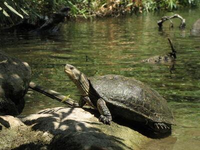 Caspian turtle (Mauremys caspica rivulata), El-Al river, Israel
