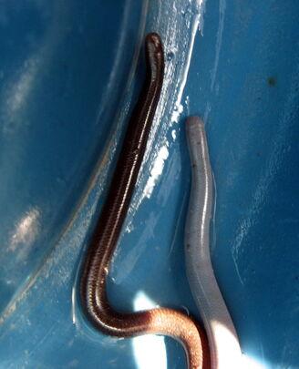 Flowerpot snakes