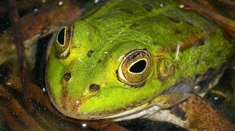 British Reptiles & Amphibians - Pool Frogs (Pelophylax lessonae)-0