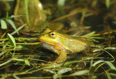 Italian water frog