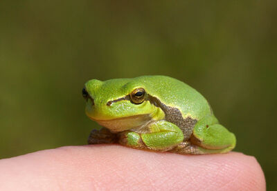 Eurpean tree frog