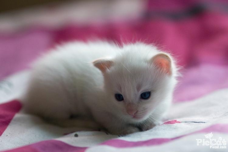 image blue eyes cute white cat favim com 335079 jpg brothers