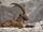 Bouc/chèvre des montagnes