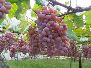 800px-Katsunuma vineyard 02