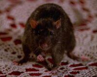 Amy en rat