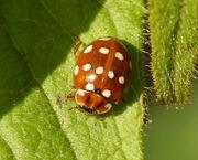 Calvia quattuordecimguttata (Cream-spot ladybird)