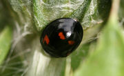 Exochomus quadripustulatus (Pine Ladybird)