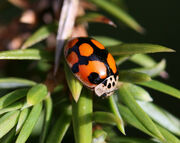 Adalia decempunctata - variant (10-spot ladybird)