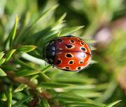 Anatis ocellata (Eyed ladybird)