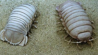 Giant Isopods