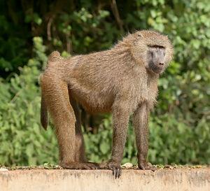 Olive baboon Ngorongoro