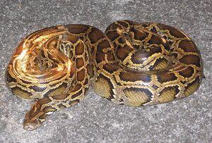 Burmese-python-Everglades-FWS