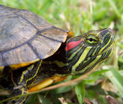 Turtle,Red-eared Slider