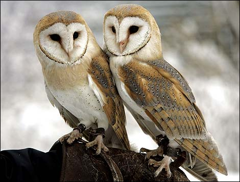 Barn owl ap 3 470x357