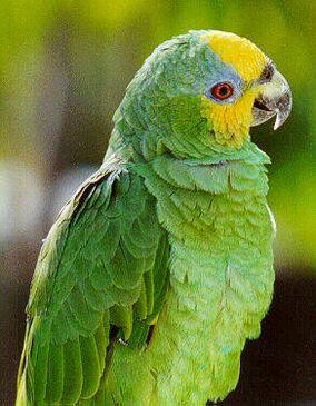 Amazona Amazónica o Amazona Alinaranja 284?cb=20111011193851&path-prefix=es