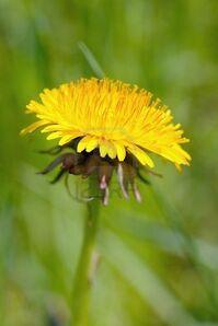 Dandlion-flowering