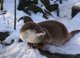 European otter 2