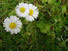 Bellis perennis daisy