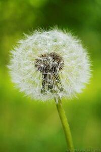 Dandelion-seed-weed-flower-1000
