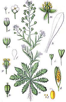 File:220px-Capsella bursa-pastoris Sturm23.jpg