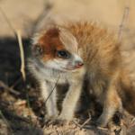 Meerkats123