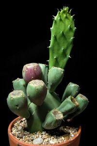 Opuntia humifusa100