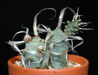 Tephrocactus articulatus var. papyracanthus0