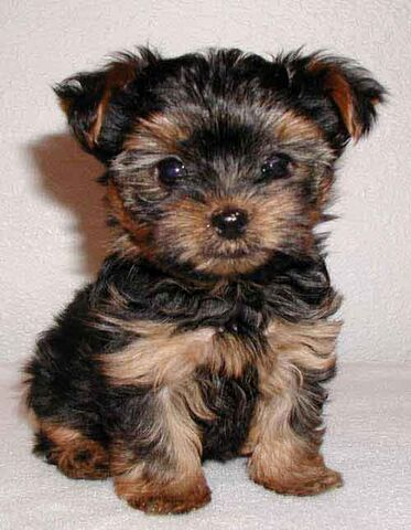 Ficheiro:Yorkshire terrier pups 03a.jpg