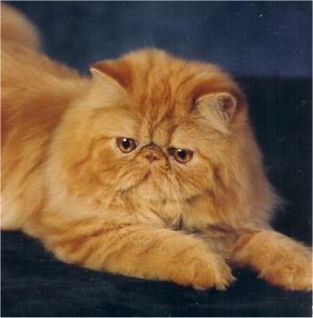 Ficheiro:Gato-persa.jpg