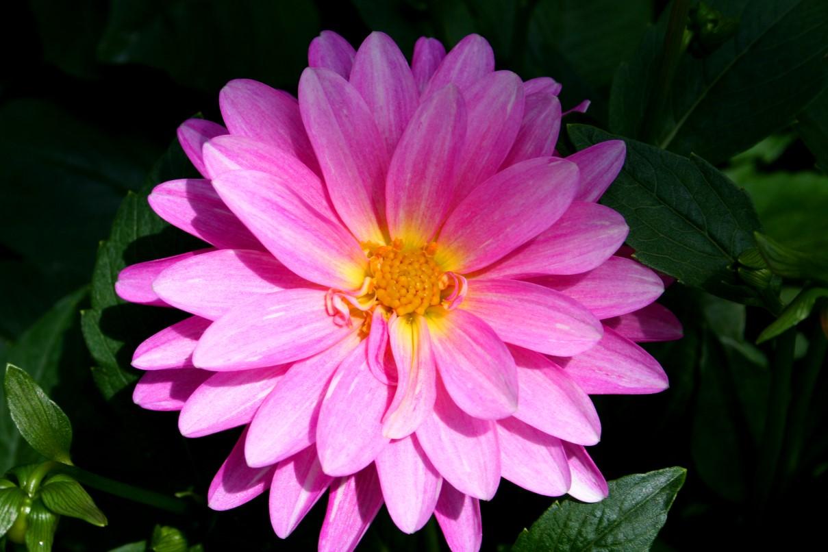 Image beautiful pink flowerg call of duty wiki fandom beautiful pink flowerg izmirmasajfo